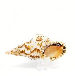 Tumbler Home Large Triton Sea Shell - 8 to 9 inch with Lucit